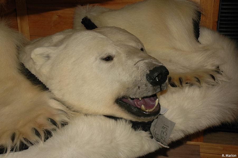 photographie peau d'ours