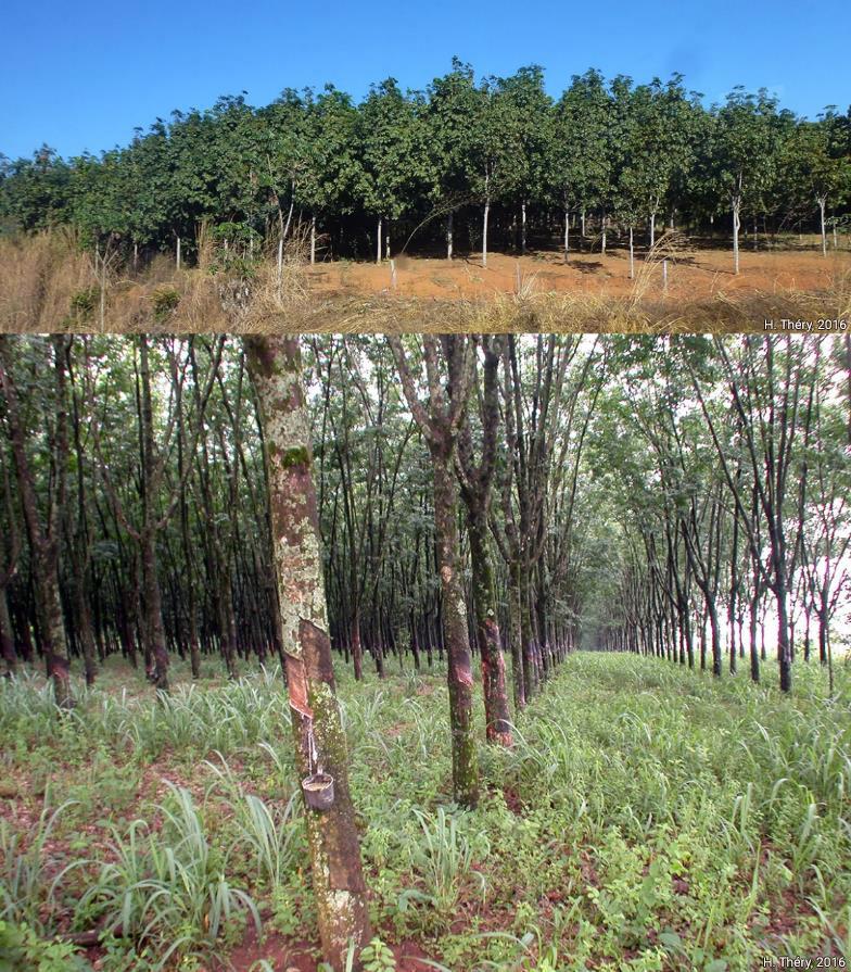 Hervé Théry — CARTE évolution de la production de latex d'hévéa par Etat du Brésil