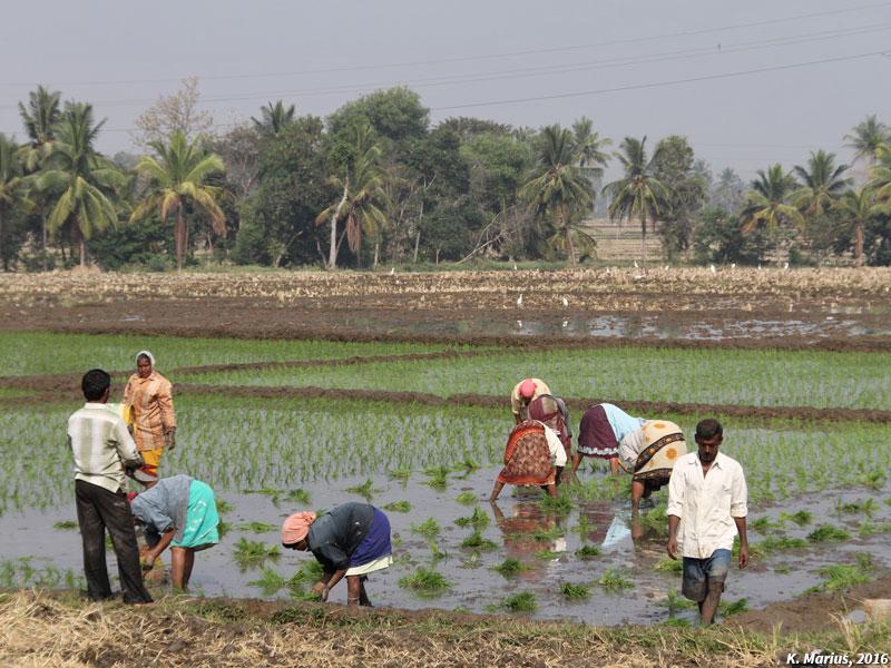 Repiquage de riz par les ouvrières agricoles au Karnataka