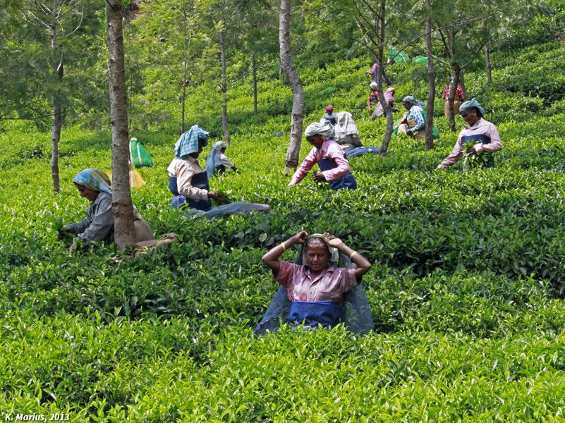 Cueilleuse de thé au Kérala