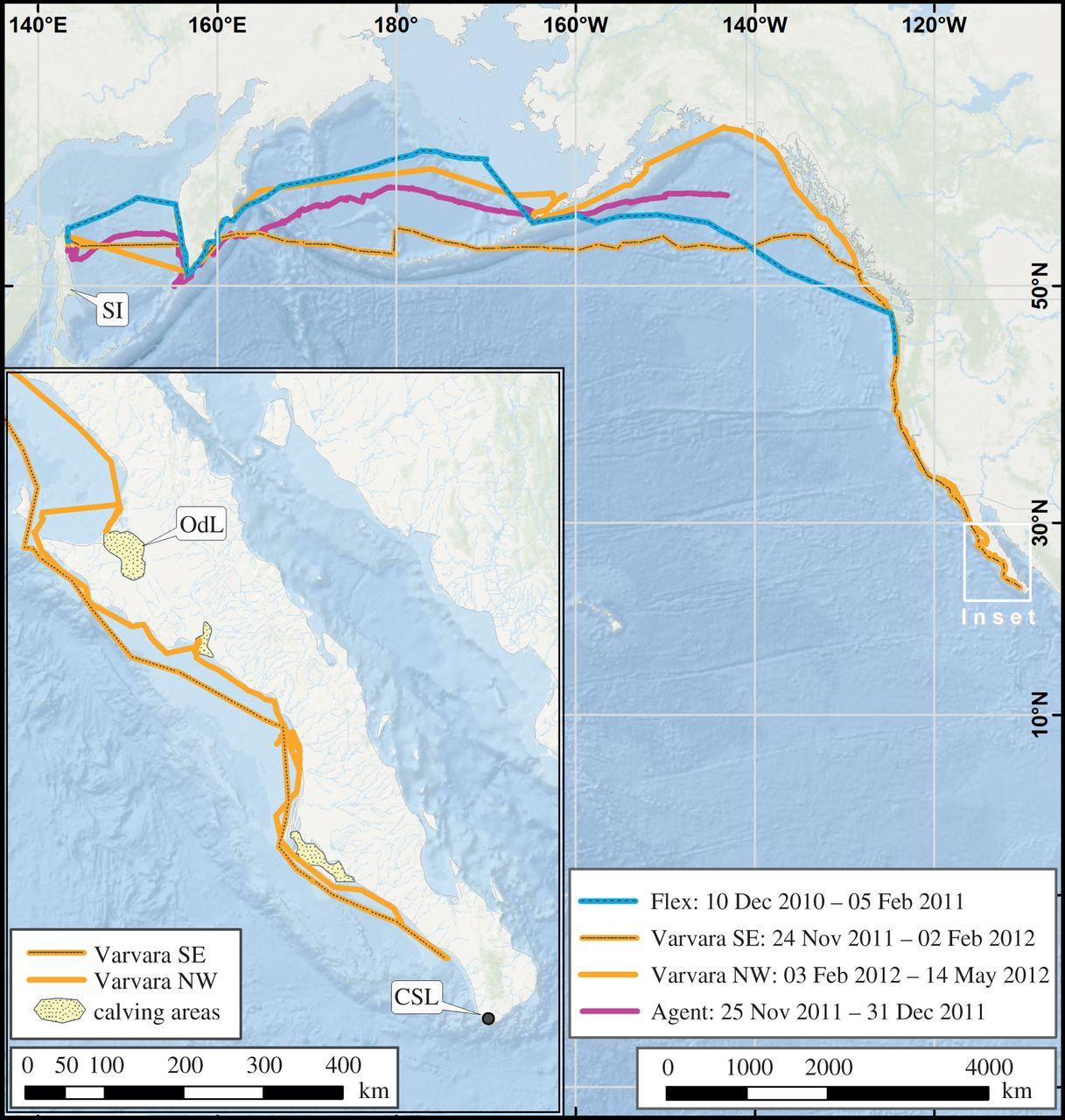 Migration de la baleine grise Varvara record