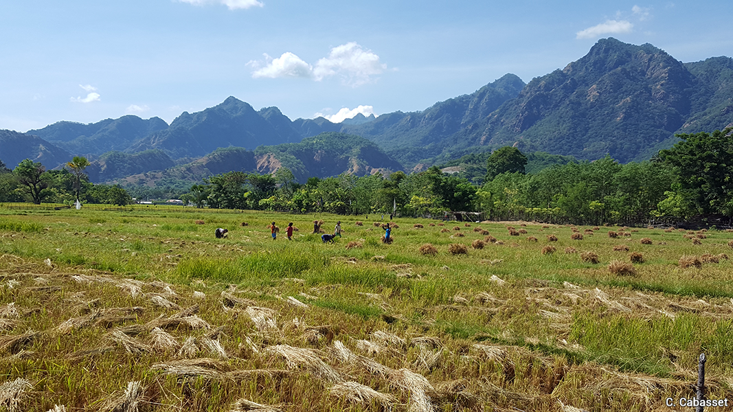 Christine Cabasset — photographie timor oriental agriculture récolte manuelle