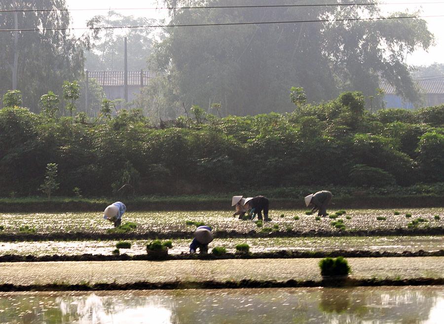 Jean-Daniel Cesaro — repiquage manuel du riz au Vietnam