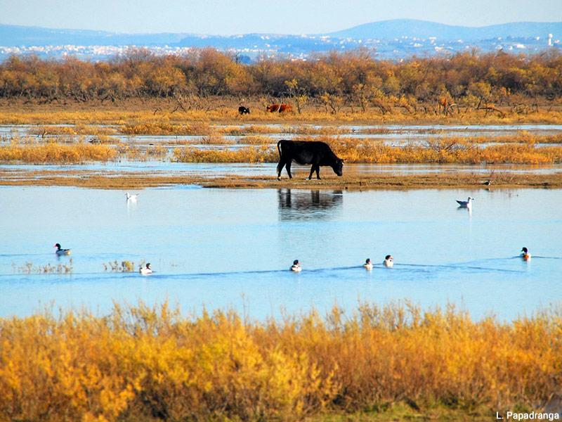 Lia Papadranga — Delta de l'Axios (ou Vardar) taureaux noirs