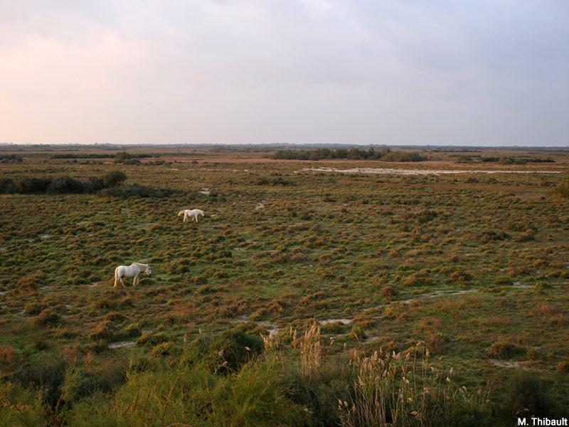 Marc Thibault — Camargue, delta du Rhône, chevaux blancs