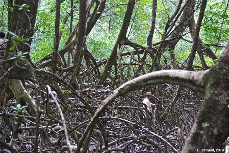 palétuviers adultes dans une mangrove d'estuaire en guyane photographie