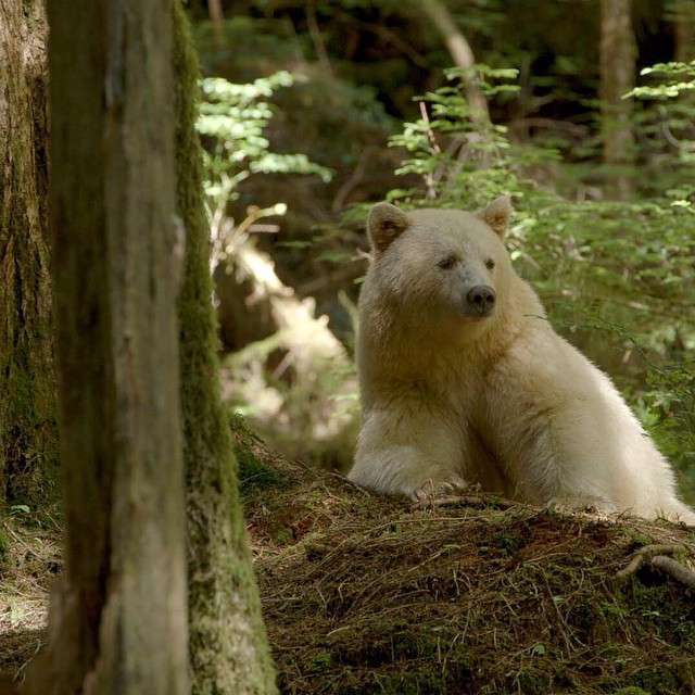 photo-ursus-americanus-kermodei