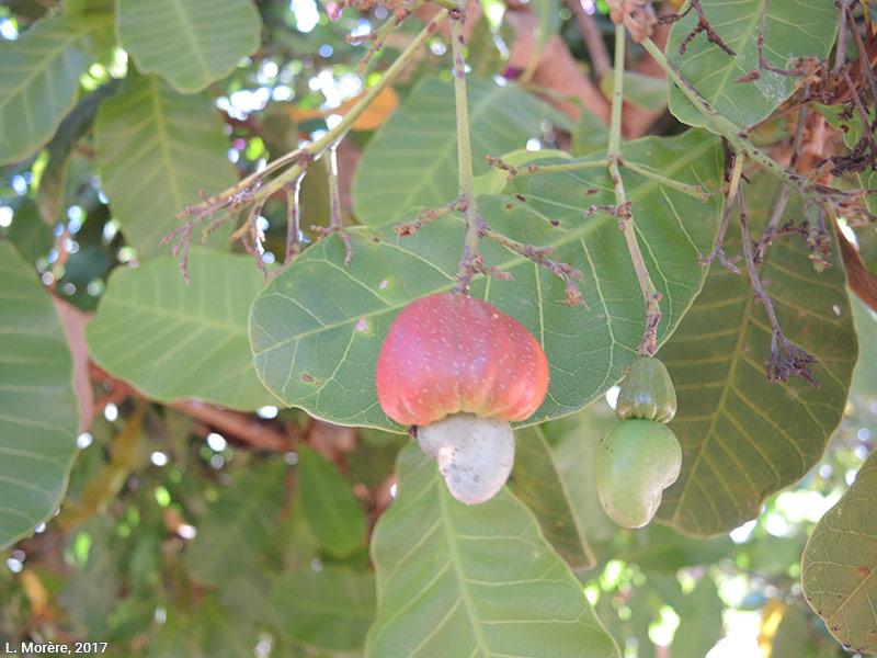 Lucie Morère — photographie Le Cajuí, un fruit du cerrado