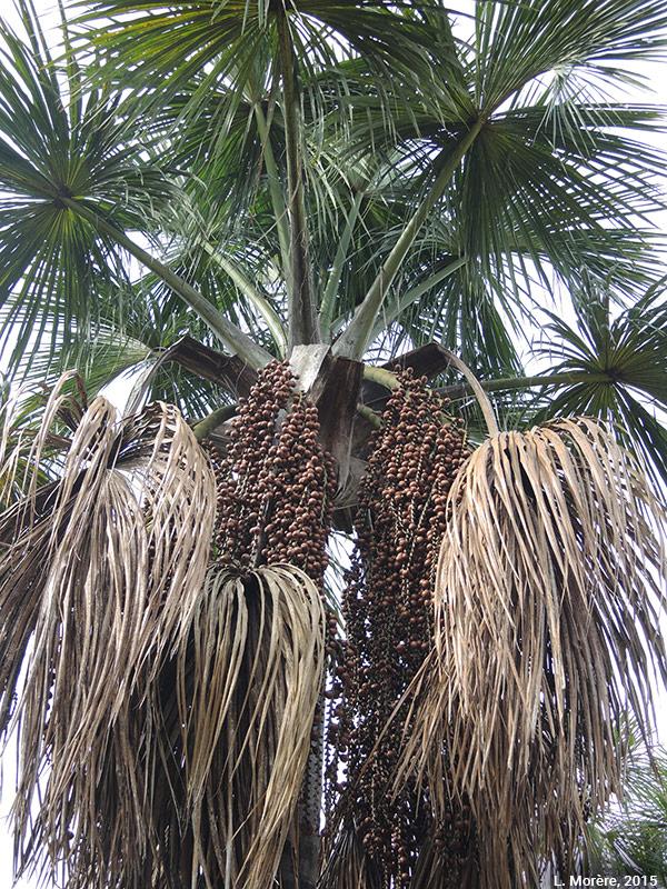 Lucie Morère — photographie Le palmier buriti (Mauritia flexuosa)