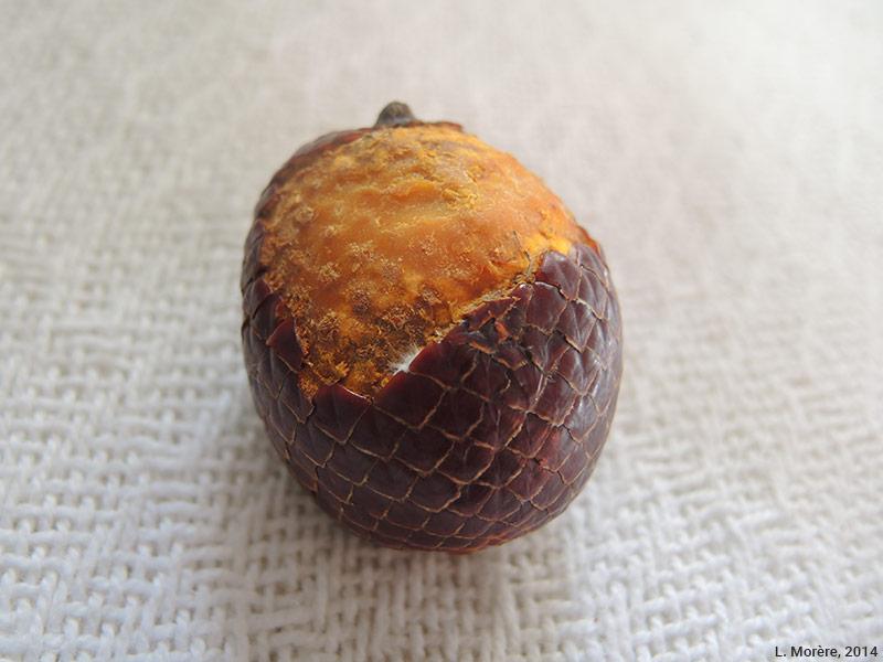 Lucie Morère — photographie Le fruit comestible du buriti