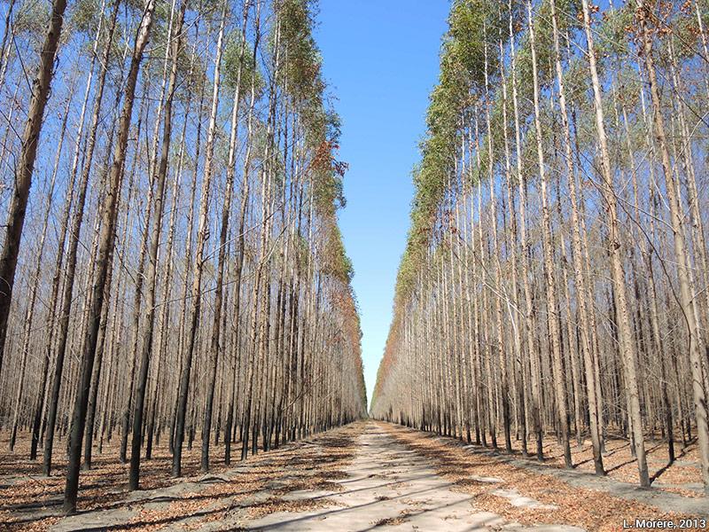 Lucie Morère — photographie Plantations d'eucalyptus