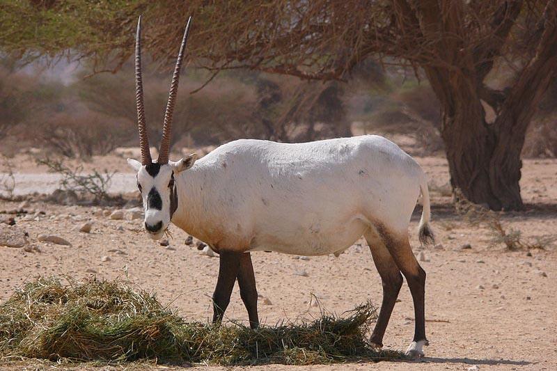 Sanctuaire de l'Oryx arabe