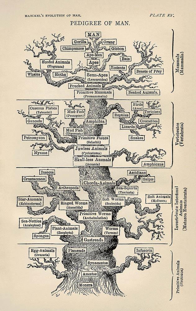 L'arbre de la vie par Haeckel